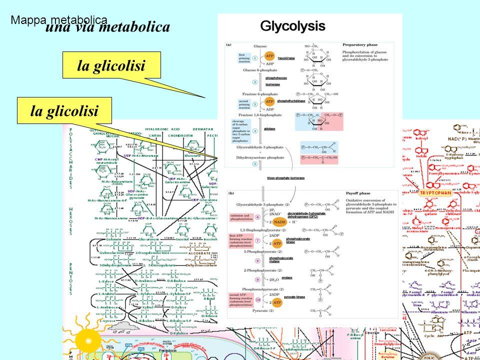 Mappa metabolica La glicolisi la glicolisi una via metabolica