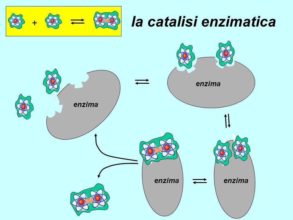 + enzima la catalisi enzimatica