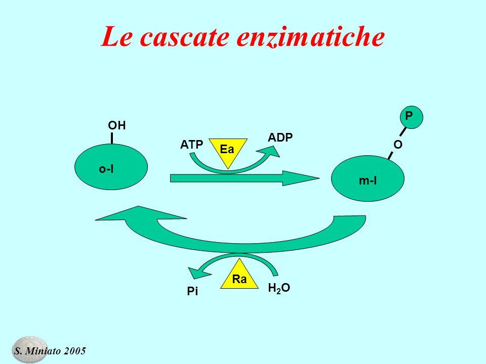 Le cascate enzimatiche ATP ADP o-I m-I H2OH2O Pi OH O P Ea Ra S. Miniato 2005