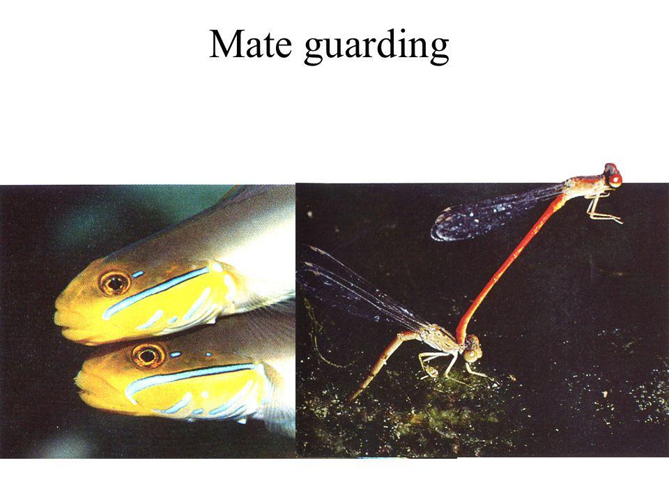 Competizione spermatica Calopterix maculata