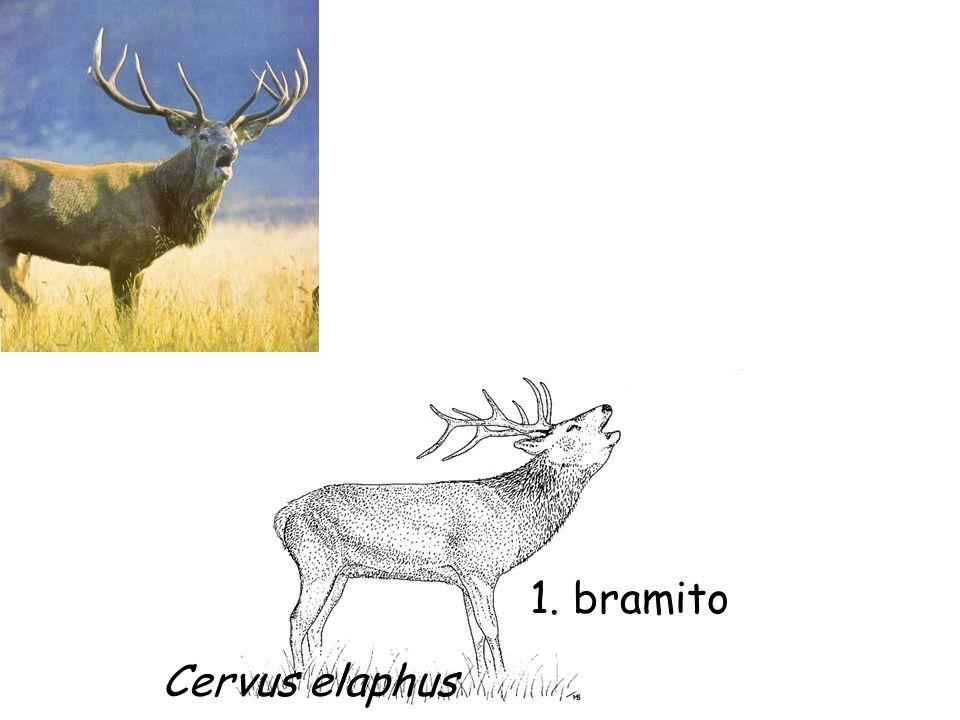 Segnale onesto: la condizione fisica del cervo influenza il numero di bramiti Segnale costoso!