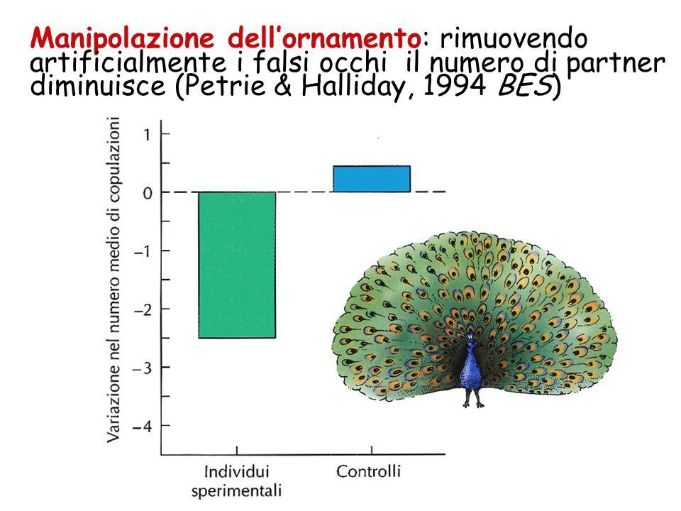 Il numero delle macchie aumenta con letà e con la simmetria del trionfo (Manning & Hartley, 1992, Anim. Behav. Petrie 1993, J.Evol.Biol.) I maschi con