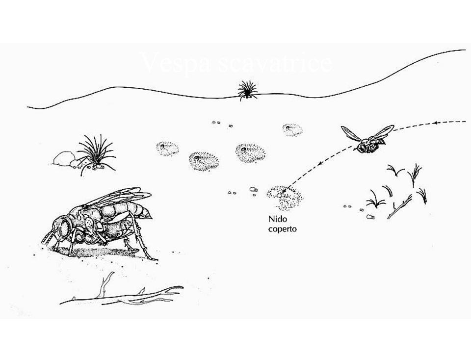 Vespa scavatrice sul nido con la preda