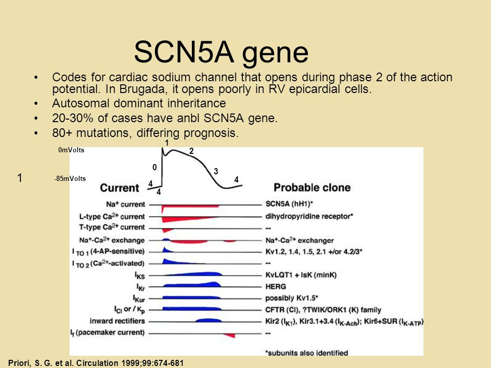 SCN5A gene Codes for cardiac sodium channel that opens during phase 2 of the action potential. In Brugada, it opens poorly in RV epicardial cells. Aut