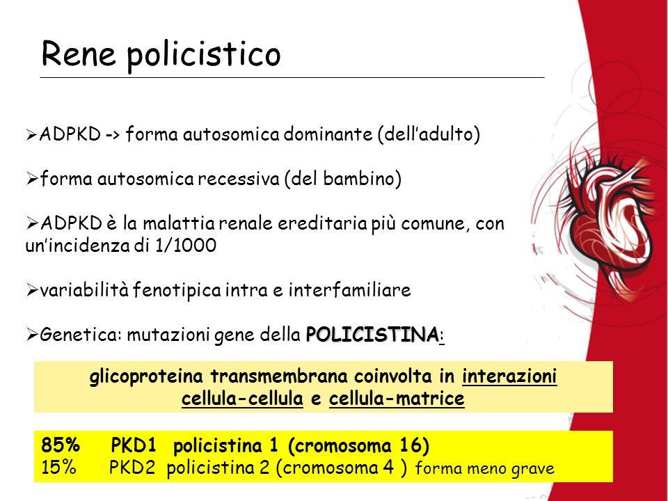 Rene policistico ADPKD -> forma autosomica dominante (delladulto) forma autosomica recessiva (del bambino) ADPKD è la malattia renale ereditaria più comune, con unincidenza di 1/1000 variabilità fenotipica intra e interfamiliare POLICISTINA Genetica: mutazioni gene della POLICISTINA: 85% PKD1 policistina 1 (cromosoma 16) 15% PKD2 policistina 2 (cromosoma 4 ) forma meno grave glicoproteina transmembrana coinvolta in interazioni cellula-cellula e cellula-matrice