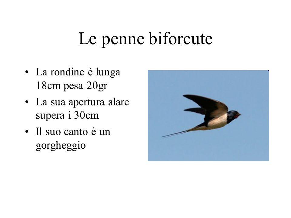 Le penne biforcute La rondine è lunga 18cm pesa 20gr La sua apertura alare supera i 30cm Il suo canto è un gorgheggio