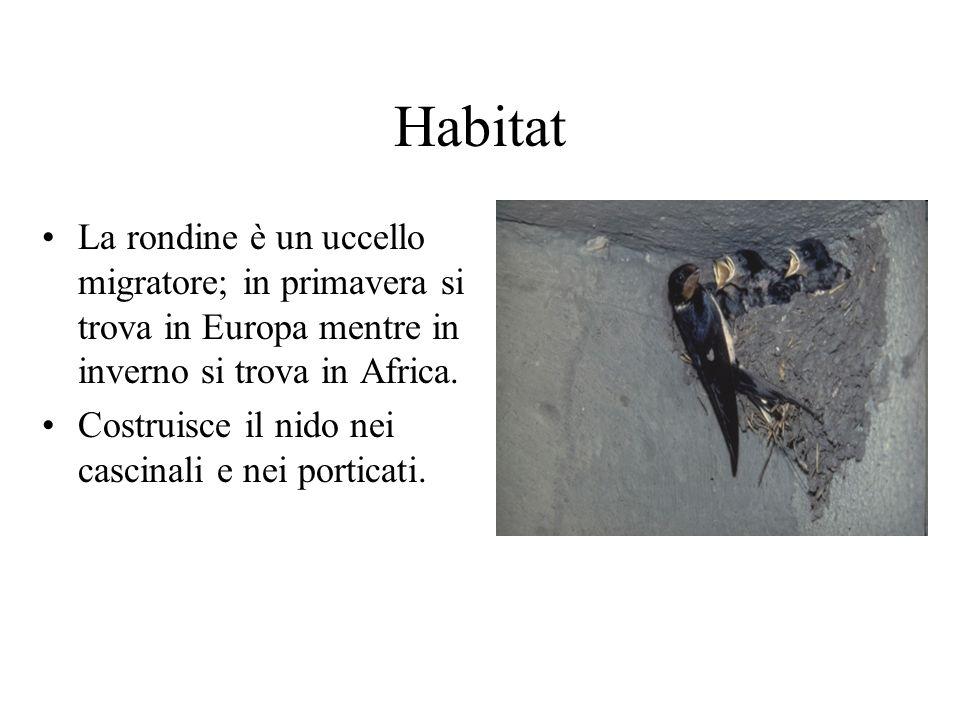 Habitat La rondine è un uccello migratore; in primavera si trova in Europa mentre in inverno si trova in Africa. Costruisce il nido nei cascinali e ne