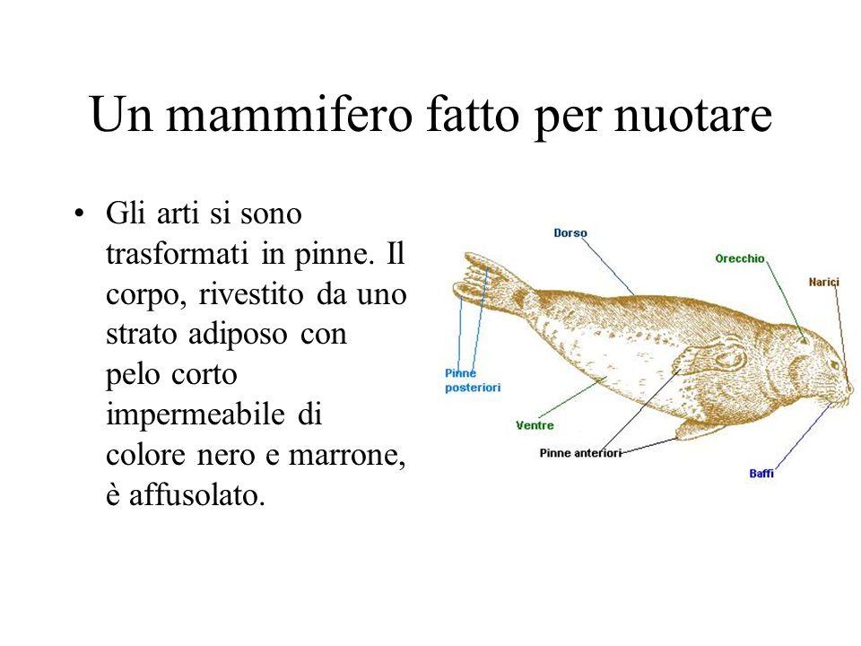 Un mammifero fatto per nuotare Gli arti si sono trasformati in pinne. Il corpo, rivestito da uno strato adiposo con pelo corto impermeabile di colore