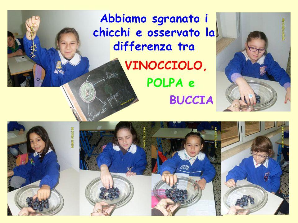 Abbiamo sgranato i chicchi e osservato la differenza tra BUCCIA VINOCCIOLO, POLPA e