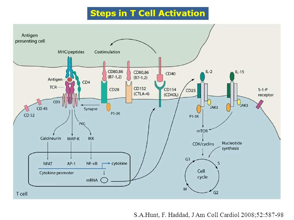 Steps in T Cell Activation S.A.Hunt, F. Haddad, J Am Coll Cardiol 2008;52:587-98