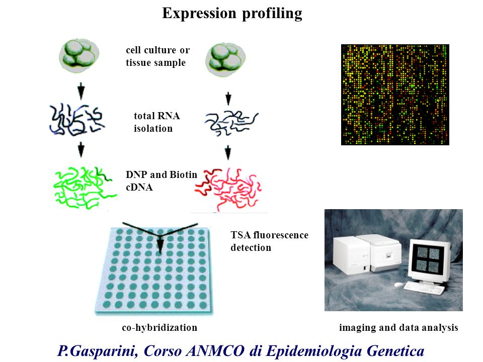 cell culture or tissue sample total RNA isolation DNP and Biotin cDNA co-hybridization TSA fluorescence detection imaging and data analysis Expression profiling P.Gasparini, Corso ANMCO di Epidemiologia Genetica