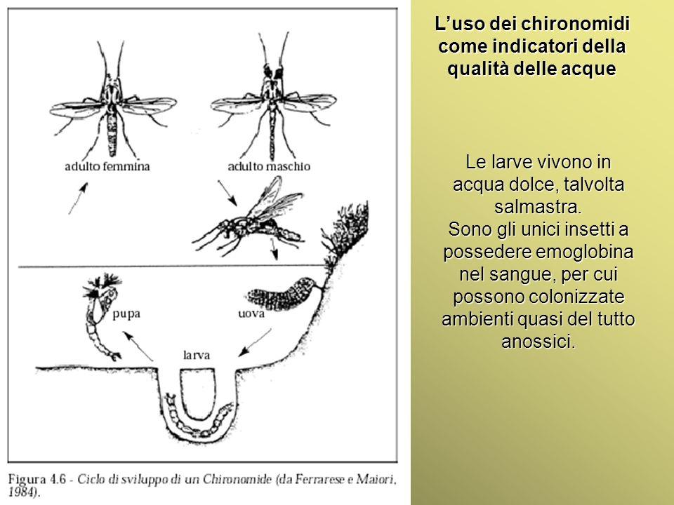 Università Federico II di Napoli Introduzione bioindicatori animali Luso dei chironomidi come indicatori della qualità delle acque Le larve vivono in