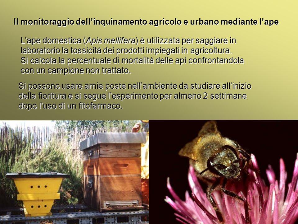 Università Federico II di Napoli Introduzione bioindicatori animali Il monitoraggio dellinquinamento agricolo e urbano mediante lape Lape domestica (A