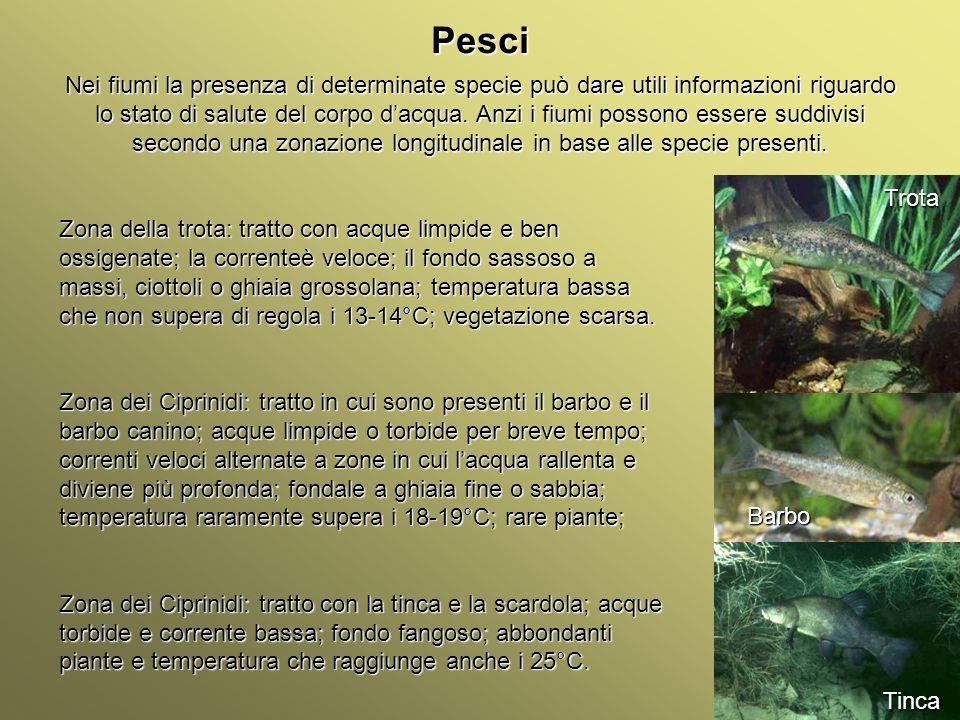 Università Federico II di Napoli Introduzione bioindicatori animali Pesci Nei fiumi la presenza di determinate specie può dare utili informazioni rigu