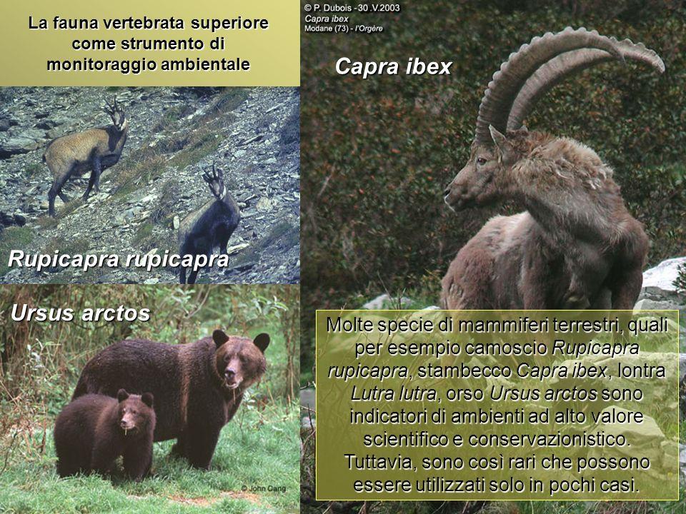 Università Federico II di Napoli Introduzione bioindicatori animali Capra ibex Rupicapra rupicapra La fauna vertebrata superiore come strumento di mon