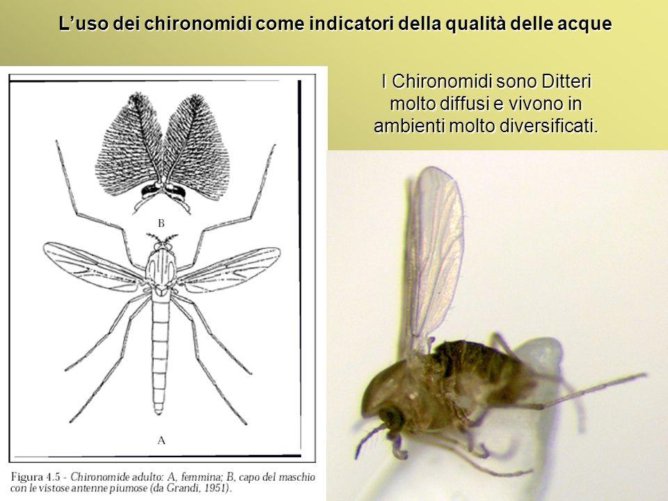 Università Federico II di Napoli Introduzione bioindicatori animali Luso dei chironomidi come indicatori della qualità delle acque I Chironomidi sono