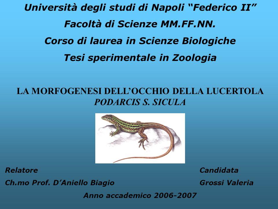 Università degli studi di Napoli Federico II Facoltà di Scienze MM.FF.NN. Corso di laurea in Scienze Biologiche Tesi sperimentale in Zoologia LA MORFO
