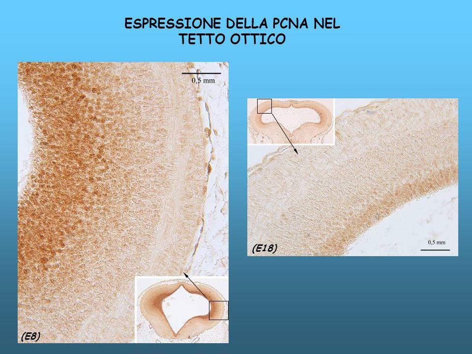 (E8) (E18) ESPRESSIONE DELLA PCNA NEL TETTO OTTICO