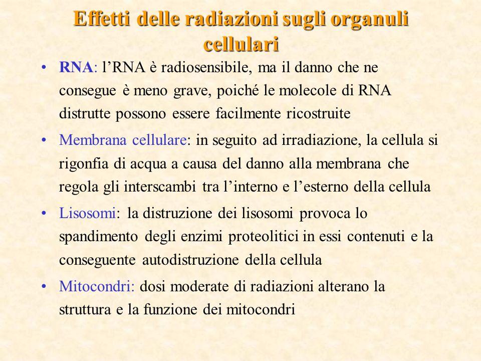 RNA: lRNA è radiosensibile, ma il danno che ne consegue è meno grave, poiché le molecole di RNA distrutte possono essere facilmente ricostruite Membrana cellulare: in seguito ad irradiazione, la cellula si rigonfia di acqua a causa del danno alla membrana che regola gli interscambi tra linterno e lesterno della cellula Lisosomi: la distruzione dei lisosomi provoca lo spandimento degli enzimi proteolitici in essi contenuti e la conseguente autodistruzione della cellula Mitocondri: dosi moderate di radiazioni alterano la struttura e la funzione dei mitocondri Effetti delle radiazioni sugli organuli cellulari