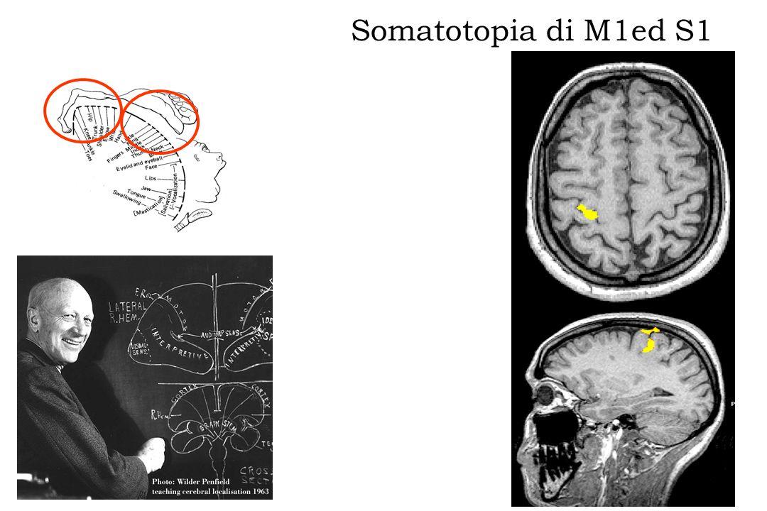 Somatotopia di M1ed S1 Stimolazione tibiale sx Movimento piede sx
