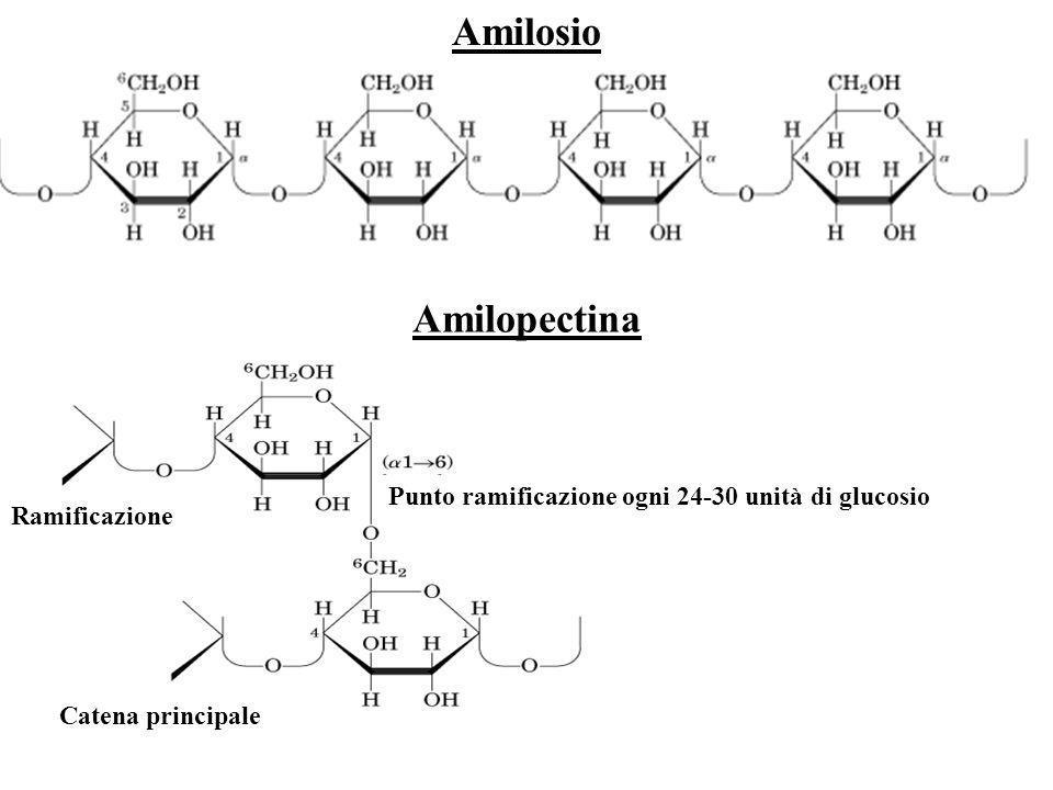 Amilosio Ramificazione Catena principale Punto ramificazione ogni 24-30 unità di glucosio Amilopectina