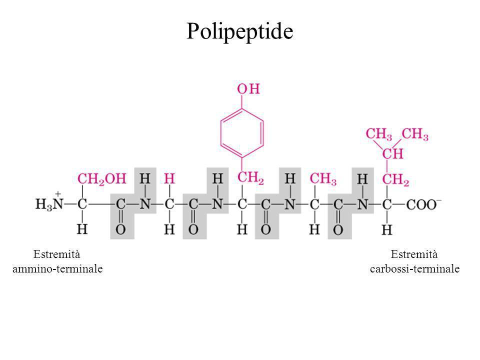Estremità ammino-terminale Estremità carbossi-terminale Polipeptide