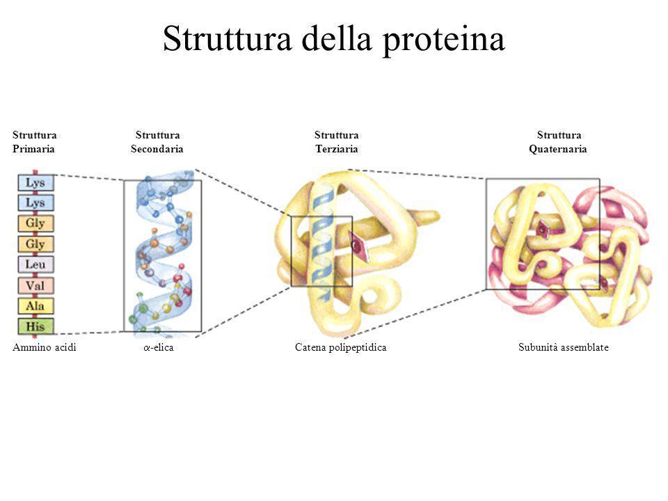 Ammino acidi -elica Catena polipeptidica Subunità assemblate Struttura Struttura Primaria Secondaria Terziaria Quaternaria Struttura della proteina