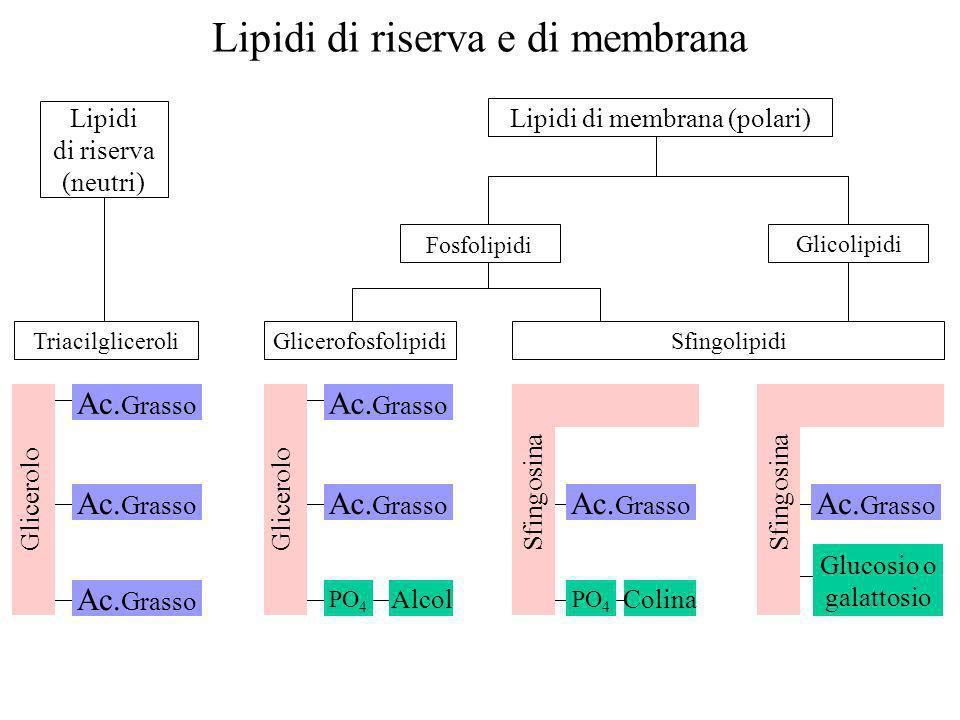 Triacilgliceroli Lipidi di riserva e di membrana Lipidi di riserva (neutri) Lipidi di membrana (polari) Glicerolo Ac. Grasso Glicerolo Ac. Grasso PO 4