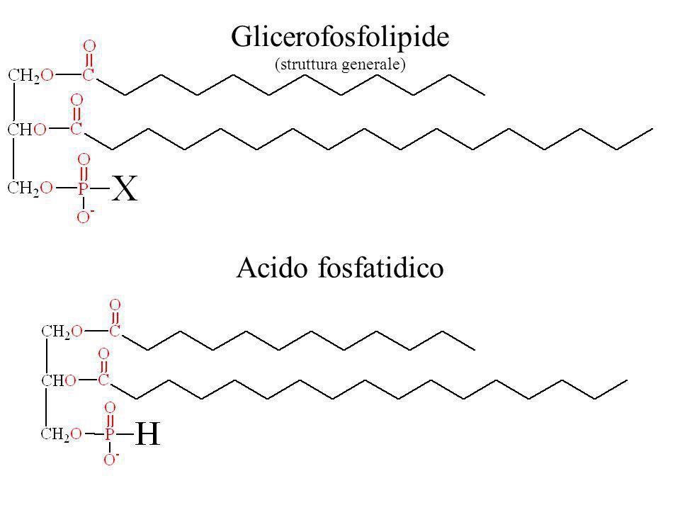 Glicerofosfolipide (struttura generale) Acido fosfatidico