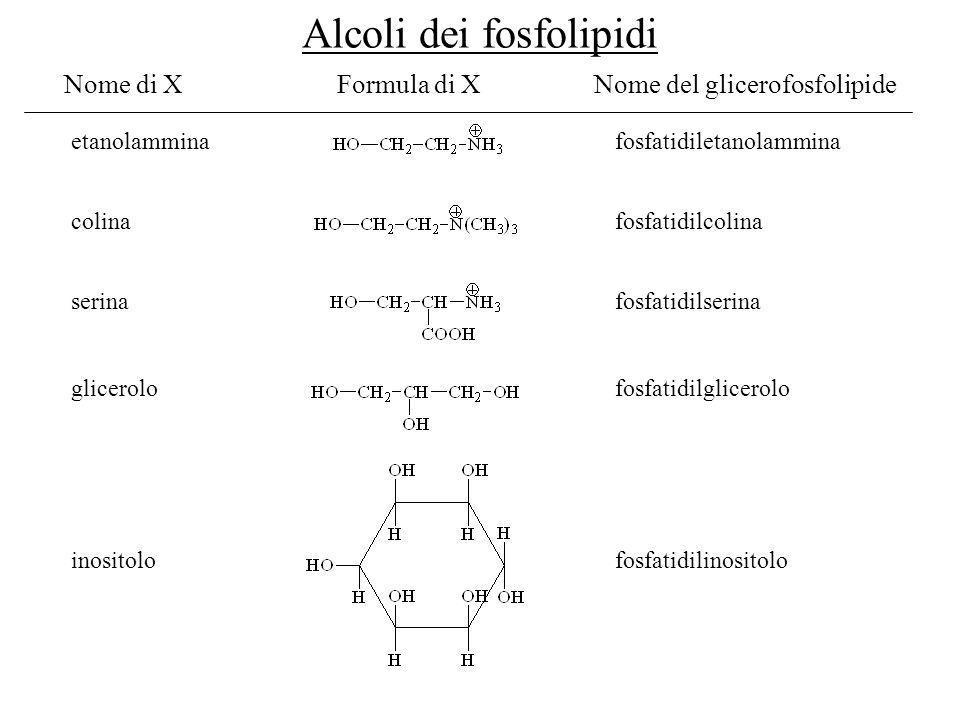 Nome di XFormula di X Nome del glicerofosfolipide etanolammina colina serina glicerolo inositolo fosfatidiletanolammina fosfatidilcolina fosfatidilser