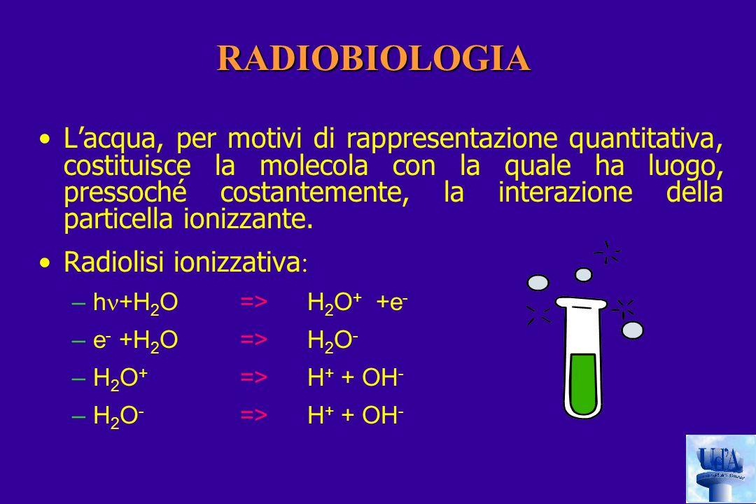 RADIOBIOLOGIA Lacqua, per motivi di rappresentazione quantitativa, costituisce la molecola con la quale ha luogo, pressoché costantemente, la interazione della particella ionizzante.