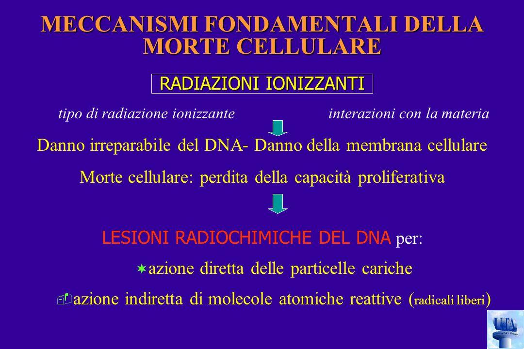 RADIAZIONI IONIZZANTI tipo di radiazione ionizzante interazioni con la materia Danno irreparabile del DNA- Danno della membrana cellulare Morte cellulare: perdita della capacità proliferativa LESIONI RADIOCHIMICHE DEL DNA per: ¬ azione diretta delle particelle cariche  azione indiretta di molecole atomiche reattive ( radicali liberi ) MECCANISMI FONDAMENTALI DELLA MORTE CELLULARE