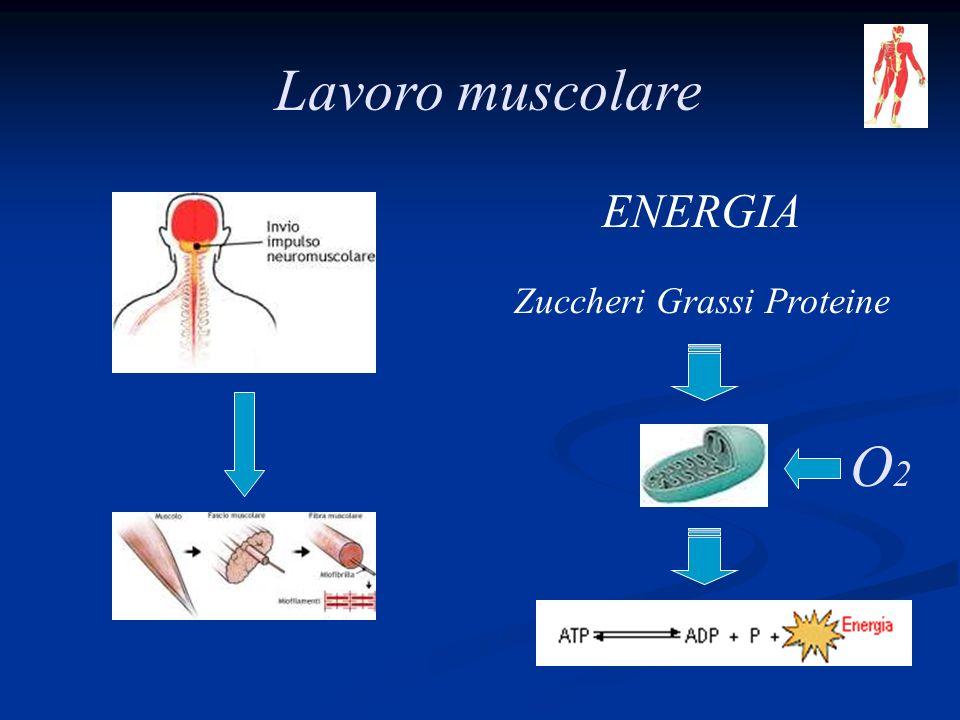 Lavoro muscolare ENERGIA Zuccheri Grassi Proteine O2O2