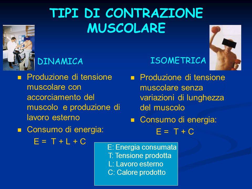 TIPI DI CONTRAZIONE MUSCOLARE Produzione di tensione muscolare con accorciamento del muscolo e produzione di lavoro esterno Consumo di energia: E = T + L + C Produzione di tensione muscolare senza variazioni di lunghezza del muscolo Consumo di energia: E = T + C DINAMICA ISOMETRICA E: Energia consumata T: Tensione prodotta L: Lavoro esterno C: Calore prodotto