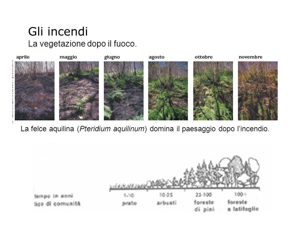 La felce aquilina (Pteridium aquilinum) domina il paesaggio dopo lincendio. Gli incendi La vegetazione dopo il fuoco.