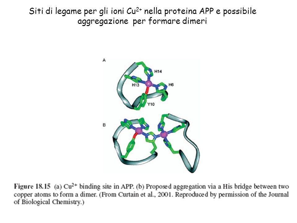 Siti di legame per gli ioni Cu 2+ nella proteina APP e possibile aggregazione per formare dimeri