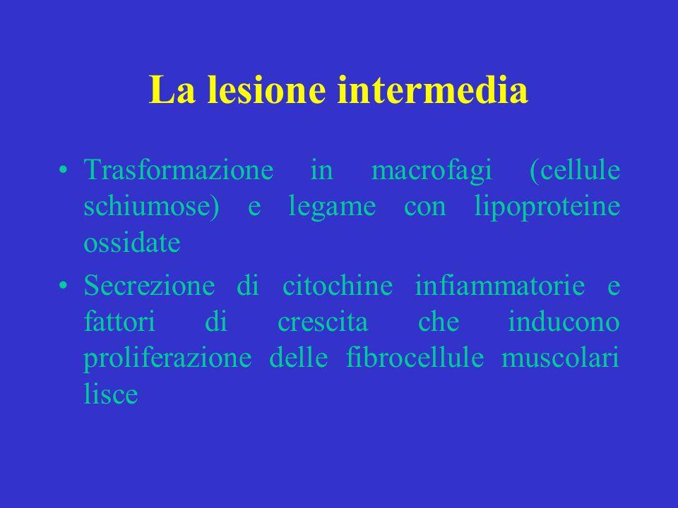 La lesione intermedia Trasformazione in macrofagi (cellule schiumose) e legame con lipoproteine ossidate Secrezione di citochine infiammatorie e fatto
