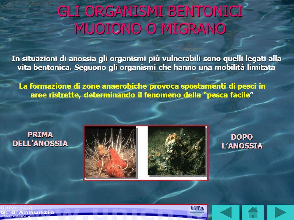 SI MODIFICA LA COMPOSIZIONE DELLE BIOCENOSI DI FONDO Tali fenomeni hanno determinato nellAdriatico la scomparsa di una quindicina di specie di molluschi e tre di crostacei.
