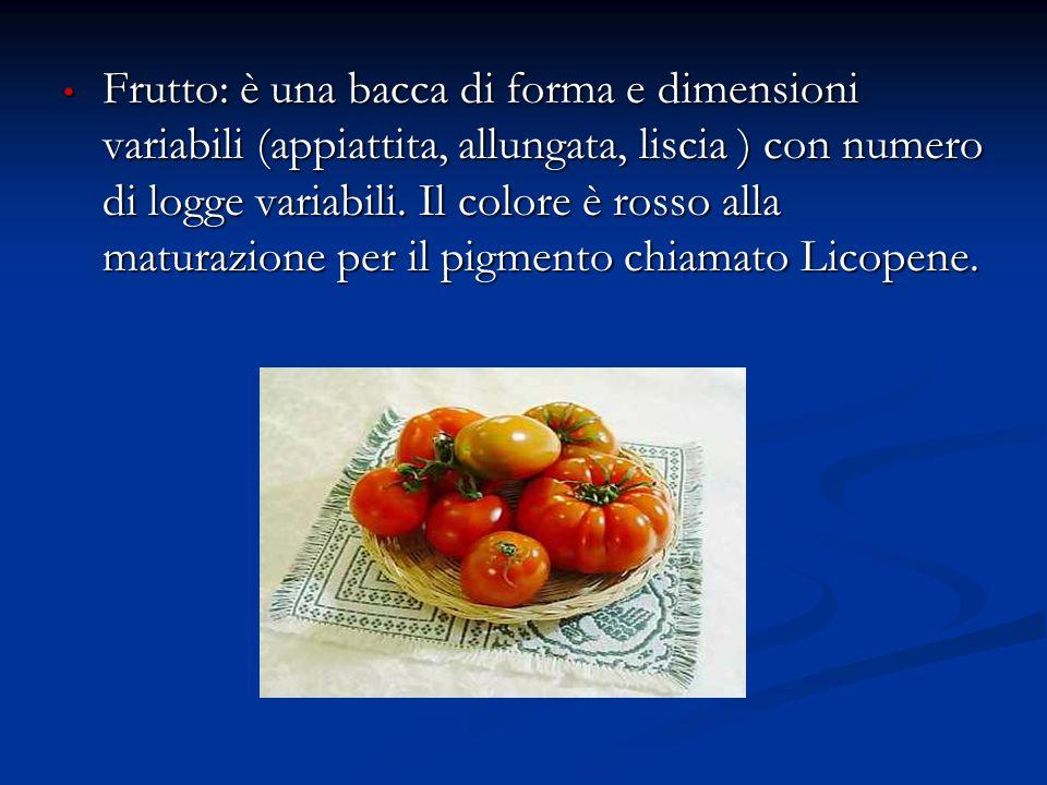 Frutto: è una bacca di forma e dimensioni variabili (appiattita, allungata, liscia ) con numero di logge variabili. Il colore è rosso alla maturazione