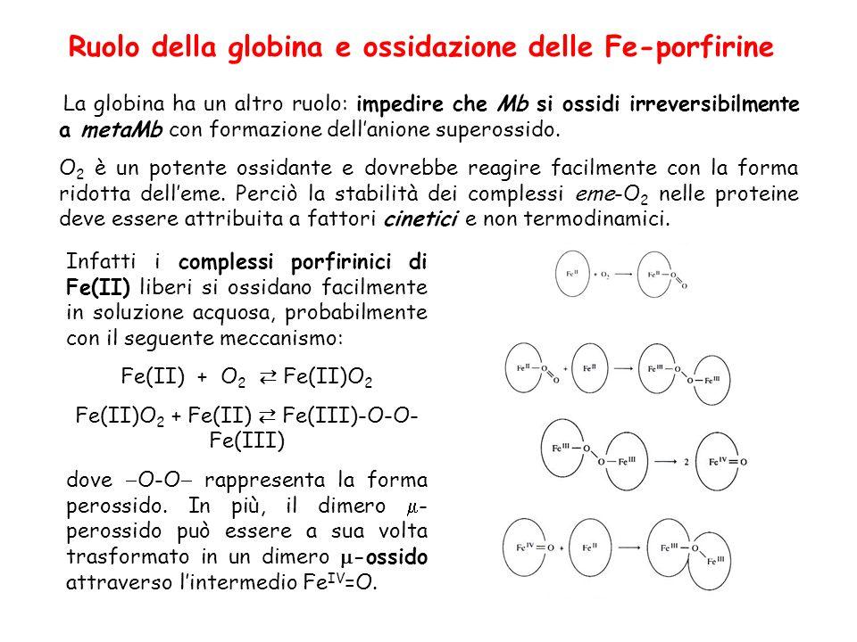 Ruolo della globina e ossidazione delle Fe-porfirine La globina ha un altro ruolo: impedire che Mb si ossidi irreversibilmente a metaMb con formazione dellanione superossido.