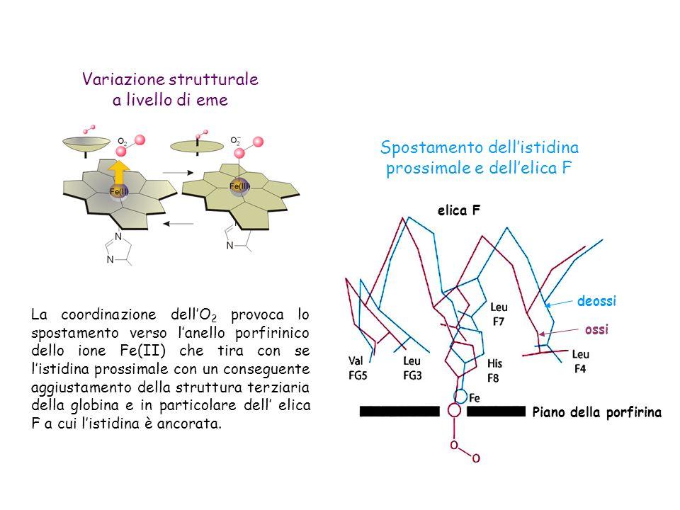 Variazione strutturale a livello di eme Spostamento dellistidina prossimale e dellelica F La coordinazione dellO 2 provoca lo spostamento verso lanello porfirinico dello ione Fe(II) che tira con se listidina prossimale con un conseguente aggiustamento della struttura terziaria della globina e in particolare dell elica F a cui listidina è ancorata.