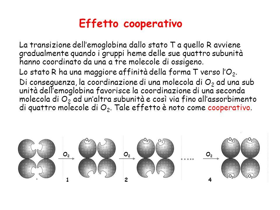 Effetto cooperativo La transizione dellemoglobina dallo stato T a quello R avviene gradualmente quando i gruppi heme delle sue quattro subunità hanno coordinato da una a tre molecole di ossigeno.