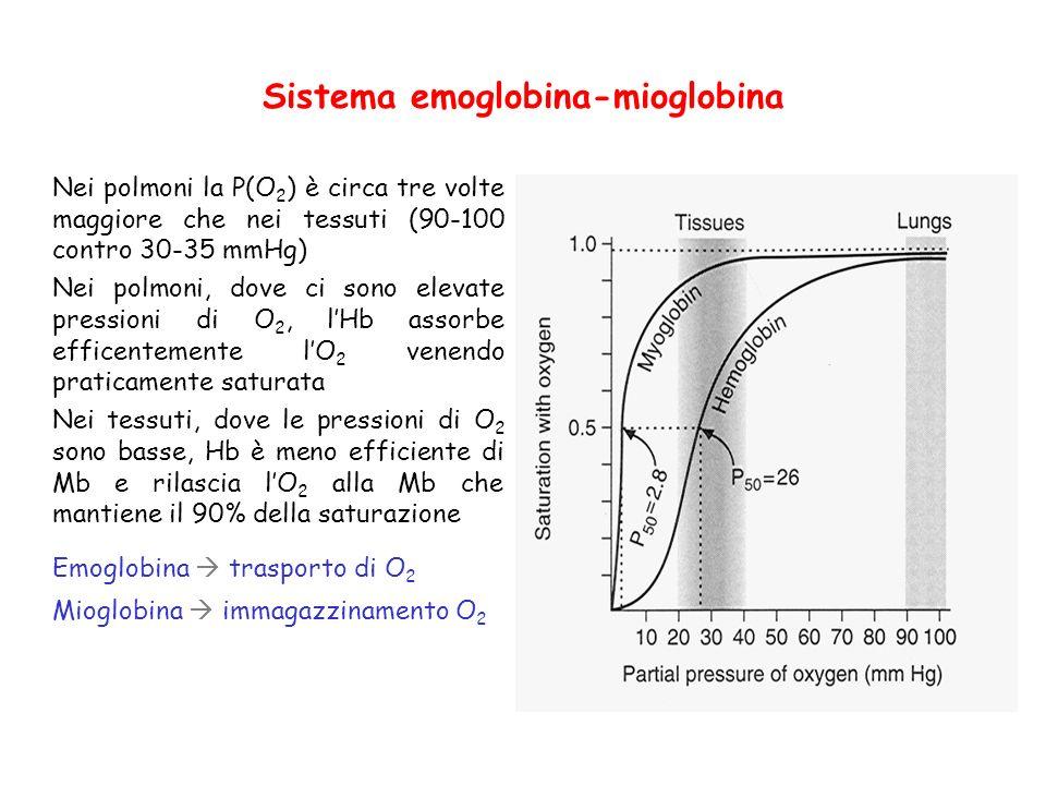 Sistema emoglobina-mioglobina Nei polmoni la P(O 2 ) è circa tre volte maggiore che nei tessuti (90-100 contro 30-35 mmHg) Nei polmoni, dove ci sono elevate pressioni di O 2, lHb assorbe efficentemente lO 2 venendo praticamente saturata Nei tessuti, dove le pressioni di O 2 sono basse, Hb è meno efficiente di Mb e rilascia lO 2 alla Mb che mantiene il 90% della saturazione Emoglobina trasporto di O 2 Mioglobina immagazzinamento O 2