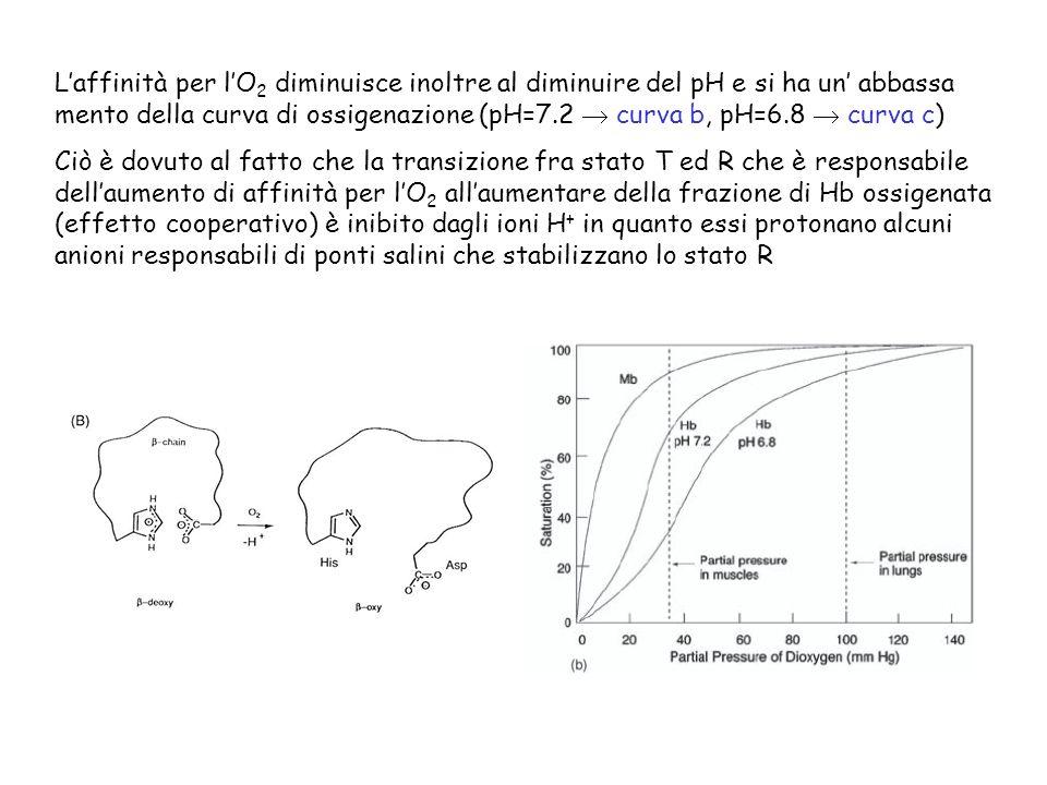 Laffinità per lO 2 diminuisce inoltre al diminuire del pH e si ha un abbassa mento della curva di ossigenazione (pH=7.2 curva b, pH=6.8 curva c) Ciò è dovuto al fatto che la transizione fra stato T ed R che è responsabile dellaumento di affinità per lO 2 allaumentare della frazione di Hb ossigenata (effetto cooperativo) è inibito dagli ioni H + in quanto essi protonano alcuni anioni responsabili di ponti salini che stabilizzano lo stato R
