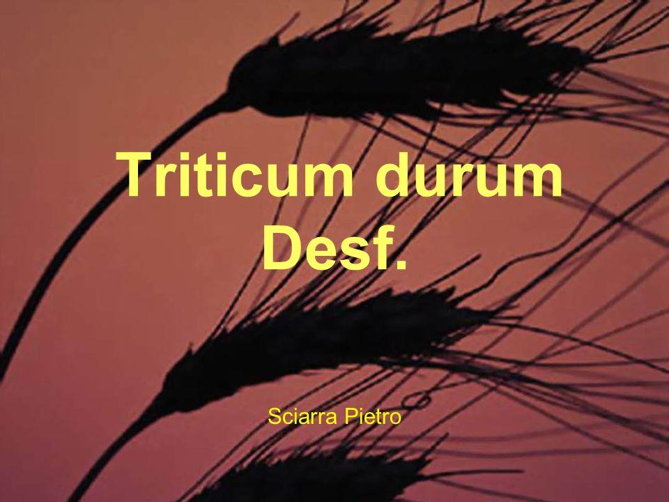 Triticum durum Desf.E coltura di grande tradizione nell agricoltura del meridione italiano.