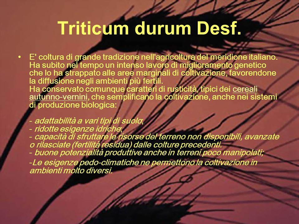 Triticum durum Desf. E' coltura di grande tradizione nell'agricoltura del meridione italiano. Ha subito nel tempo un intenso lavoro di miglioramento g