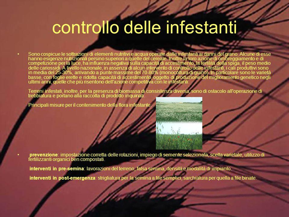controllo delle infestanti Sono cospicue le sottrazioni di elementi nutritivi e acqua operate dalle infestanti ai danni del grano. Alcune di esse hann