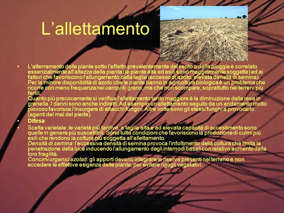Lallettamento Latterramento delle piante sotto leffetto prevalentemente del vento o della pioggia è correlato essenzialmente allaltezza della pianta (