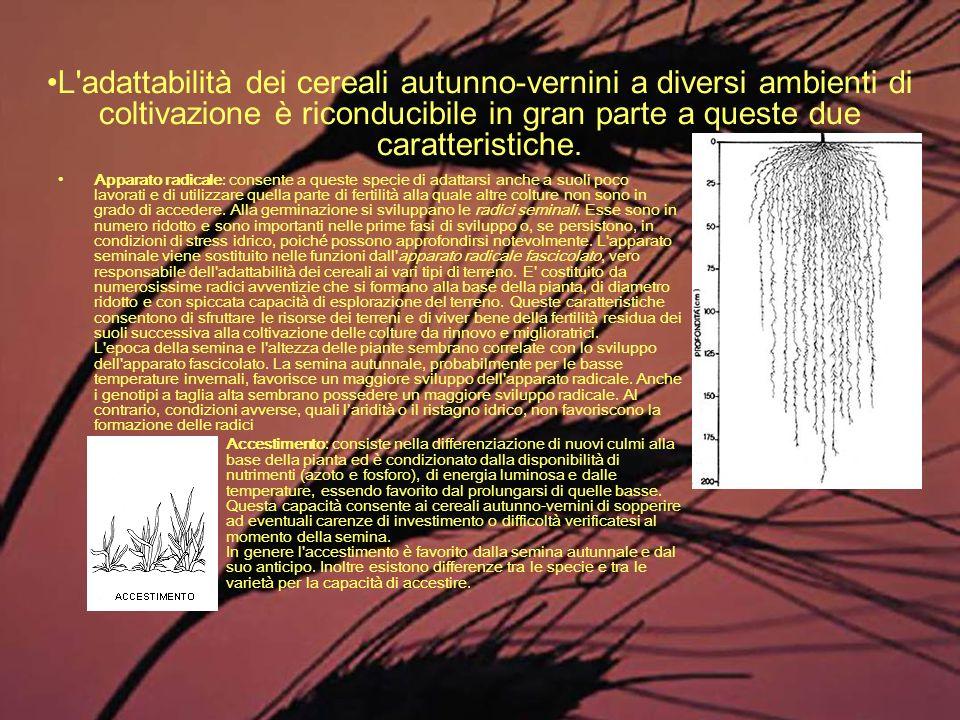 Apparato radicale: consente a queste specie di adattarsi anche a suoli poco lavorati e di utilizzare quella parte di fertilità alla quale altre coltur