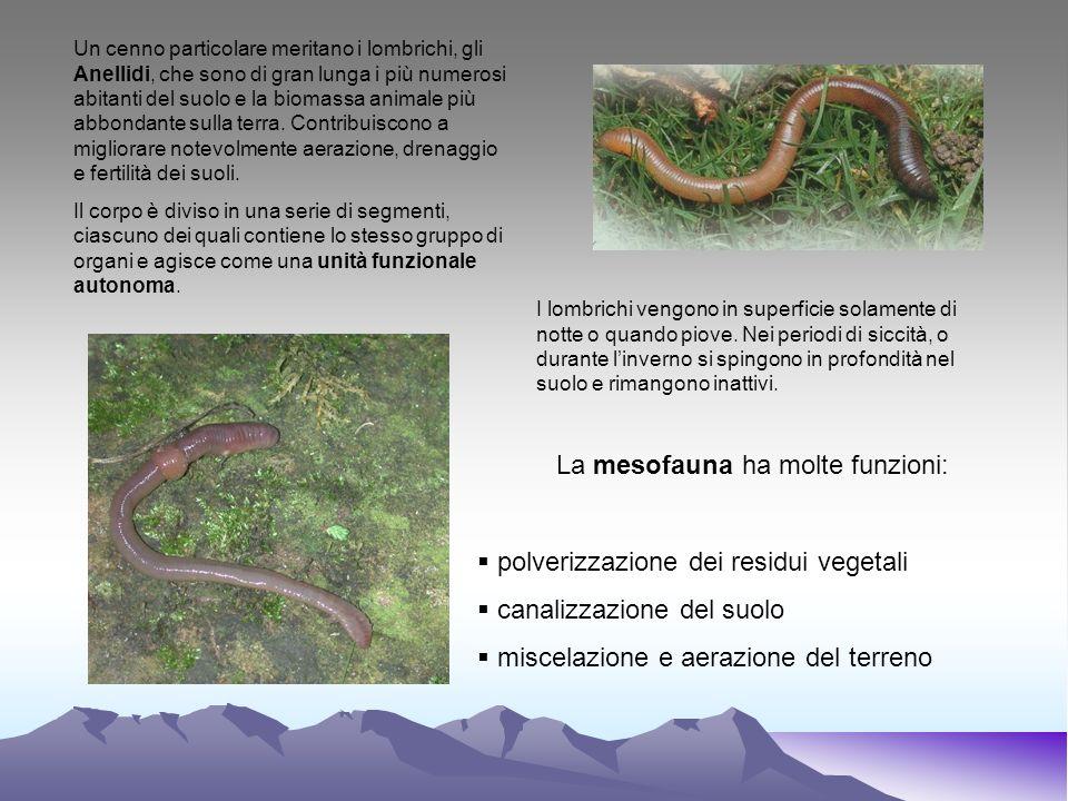 La mesofauna ha molte funzioni: polverizzazione dei residui vegetali canalizzazione del suolo miscelazione e aerazione del terreno Un cenno particolar